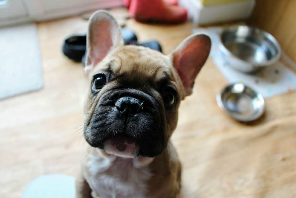 Fawn french bulldog puppy named Stitch.