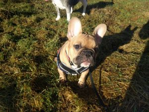Dogs can be better than people fawn french bulldog puppy