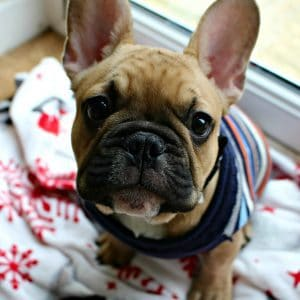 January 2017 round up fawn french bulldog