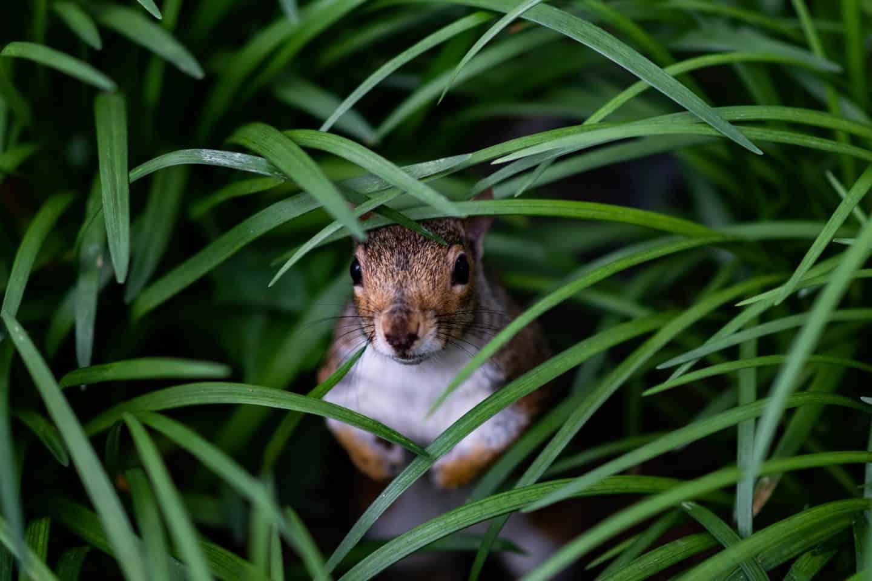 Squirrel lawn